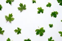 De lentekader met Groene Esdoornbladeren Stock Afbeeldingen