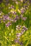 De lenteklokjes in bloei royalty-vrije stock afbeelding