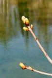 De lenteknoppen op boomtak Stock Foto