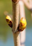 De lenteknoppen op boomtak Royalty-vrije Stock Foto's