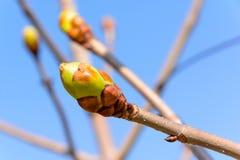 De lenteknoppen op boomtak Stock Foto's