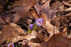 De lentekrokus in gevallen bladeren Stock Afbeelding