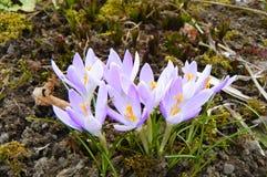De de lentekrokus komt te voorschijn uit wintergarden puin Royalty-vrije Stock Fotografie