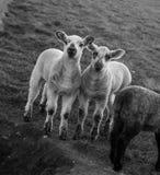 De lentelammeren op landbouwbedrijf in de lente in Seaford, Oost-Sussex Stock Afbeeldingen