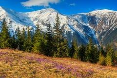De lentelandschap in de bergen en de purpere krokussen, Fagaras, de Karpaten, Roemenië Stock Fotografie