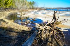 De lentelandschap, drijfhout op de kust van bosmeer Royalty-vrije Stock Foto