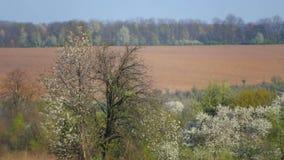 De lentelandschap met bloeiende bomen stock videobeelden