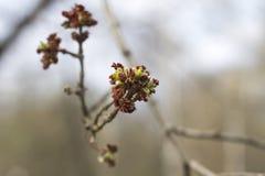 De lentelandschap met een tot bloei komende asboom Stock Afbeelding