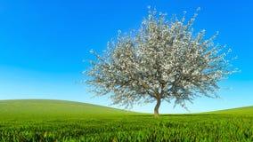 De lentelandschap met enige bloeiende kersenboom stock fotografie