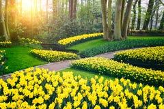 De lentelandschap met gele gele narcissen. Keukenhoftuin Royalty-vrije Stock Afbeelding