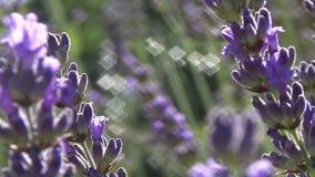 De lentelavendel stock footage