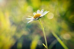 De lentemadeliefje Stock Afbeelding