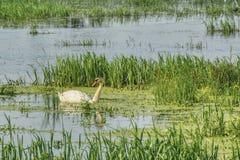 De lentemening van het meer met een drijvende eenzame zwaan royalty-vrije stock afbeelding
