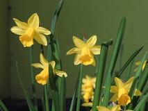 De lentenarcissen Stock Foto's