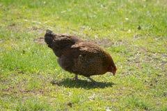 De lenteochtend in de kippenwerf Stock Fotografie