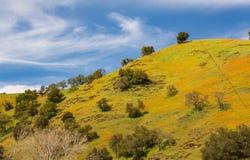 De de lentepapaver bloeit aan de kant van uitlopers dichtbij de Rivier van Mokelumne van de het Noordenvork stock afbeelding