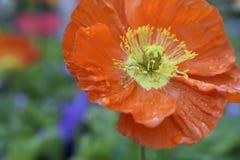De lentepapaver na een warme regen royalty-vrije stock afbeeldingen