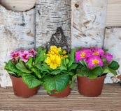 De lenteprimula's in Plastic het Groeien Potten royalty-vrije stock fotografie