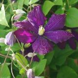 - De lenteregen van clematissenbloemen Royalty-vrije Stock Afbeelding