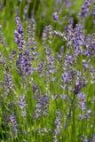De lentes van Lavendelbloesem en Bij, Tsjechische Republiek, Europa Stock Afbeelding