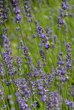 De lentes van Lavendelbloesem en Bij, Tsjechische Republiek, Europa Stock Afbeeldingen