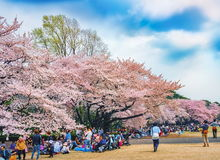 De lentesakura die bij het Park van Shinjuku Gyoen, Tokyo, Japan bloeien Stock Foto
