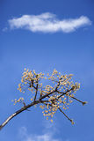 De lentescène met witte kersen Royalty-vrije Stock Foto