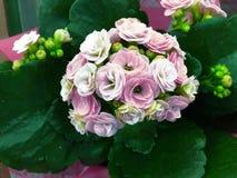 De de lentescènes van begonia bloeiende bloemen in de tuin, vatten groene aardachtergrond samen stock afbeelding