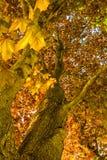 De lenteschoonheid binnen een Rode Esdoornboom Stock Foto