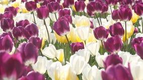 De lenteschoonheid van de tulp stock footage