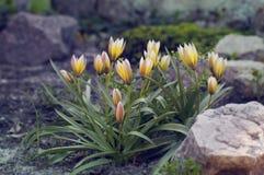 De lentesleutelbloemen Royalty-vrije Stock Foto