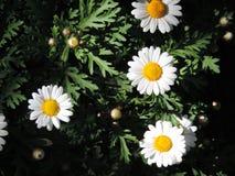 De lentesmadeliefje stock afbeeldingen