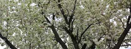 De lentesneeuw die Crabapple-Panorama bloeien Royalty-vrije Stock Fotografie