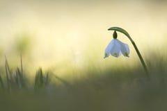 De lentesneeuwvlok, de Vogezen, Frankrijk Royalty-vrije Stock Foto