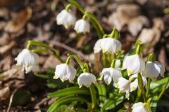 De lentesneeuwvlokken Stock Afbeeldingen