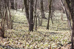 De lentesneeuwvlokken Stock Foto