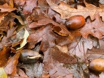 De lentespruiten - het nieuwe leven van de eikels van vorig jaar op bed van previ Royalty-vrije Stock Afbeelding