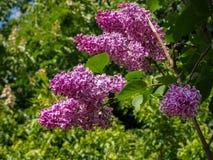 De lentetak van het tot bloei komen lilac dichte mening over groene bladerenachtergrond royalty-vrije stock foto