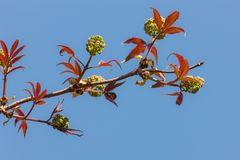 De lentetak van vlierbes Stock Foto's