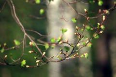 De lentetakken van het nier groene blad Stock Fotografie