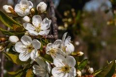 De lentetakken van kersenboom met witte bloemen stock afbeelding