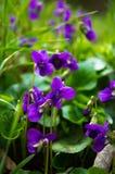 De lentetijd: eerste tricoloraltviolen Royalty-vrije Stock Fotografie