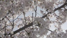 De lentetijd met de dichte omhooggaande boom van de kersenbloesem stock video