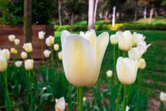De lentetijd voor Turkije April 2019, Tulip Field, Witte Tulp royalty-vrije stock afbeelding