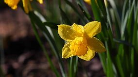 De lentetuin Geel Narcissus Flower Rain Drops stock video
