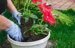 De lentetuin het verfraaien Het planten van bloemen in potten stock foto's