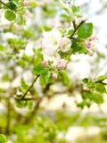 De lentetuin met een tot bloei komende appelboom stock foto