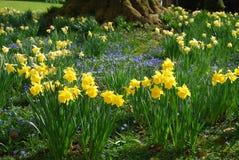 De lentetuin met gele narcis en anemoonbloemen Stock Afbeeldingen