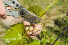 De lentetuin, zorg, het snoeien De mannelijke handen met pruner in orde makende wijnstok bij de lentetuin werkt met struik van dr royalty-vrije stock afbeeldingen