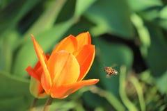 De lentetulp en bij royalty-vrije stock afbeeldingen